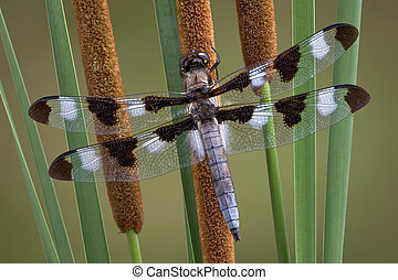 Dragonfly on cattails - A dragonfly has landed on a group of...