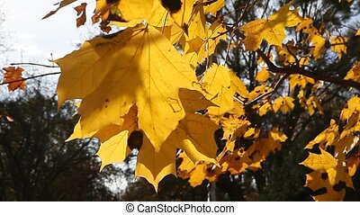 Golden yellow leaves on windy fall day - Golden yellow...