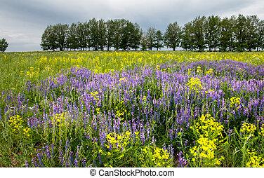 Vicia cracca - Purple flower vetch (Vicia cracca) on meadow....