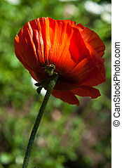 poppy. a herbaceous plant with showy flowers, milky sap, and...