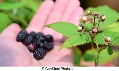 Blackberries on human hand - Delicious ripe blackberries on...