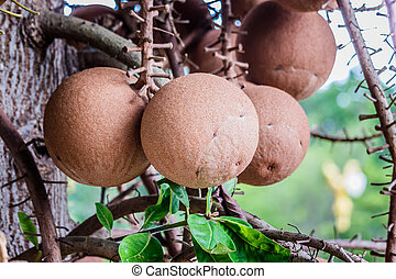 Sal Tree, Sal of India, Couroupita guianensis ,cannon Ball...