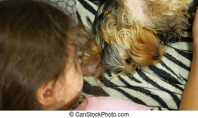 little girl petting a dog Yorkshire terrier lying on the bed...