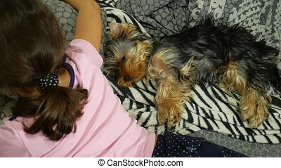 Dog Yorkshire terrier sleeping on the bed next to a pet is a...