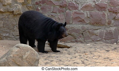 Himalayan bear walk in zoo