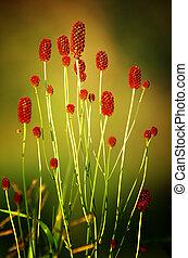 Sanguisorba officinalis. great burnet. Chinese Herbal...