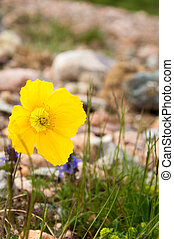 Yellow poppies. a herbaceous plant with showy flowers, milky...