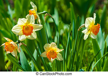 narcissus. jonquil. narcissus flowers