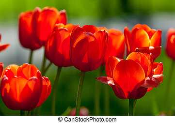 tulips. a bulbous spring-flowering plant of the lily family,...
