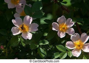 dog-rose, briar, brier, canker-rose, eglantine. rose...