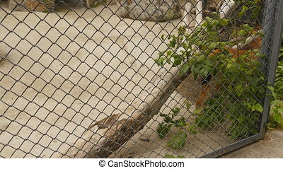 Lynx in zoo walks along the cage