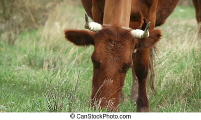 Cow grazes in a pasture