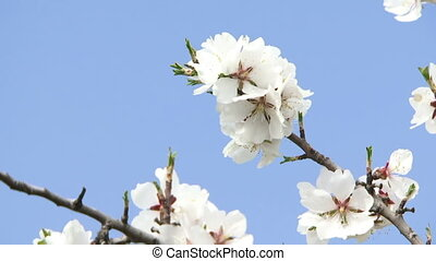Blossoming branch - Blossoming almond tree branch