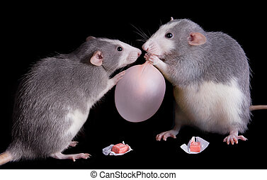 Rats playing with bubble gum - Two rats are playing with...