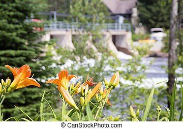 Daylilies in the parks at the Baysville dam