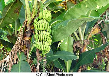 árvore,  banana