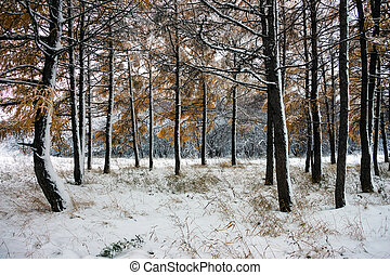 Trunks of trees in a snowy forest