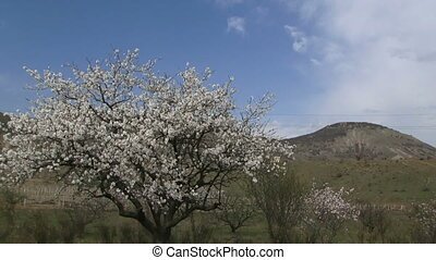Almond tree in the highlands - Beautiful flowering almond...