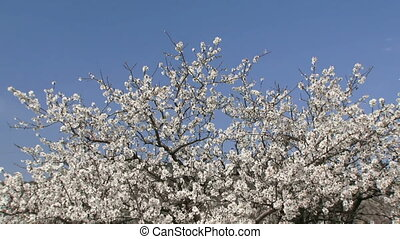 Almond tree - Beautiful flowering almond tree and a clear...