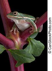 Green tree frog on pokeweed