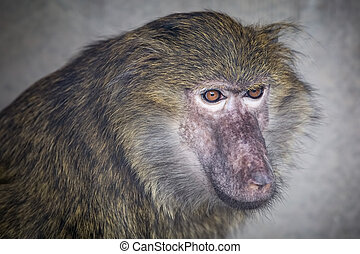 Young baboon is looking to the side