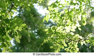Sun beams and green leaves spring or summertime