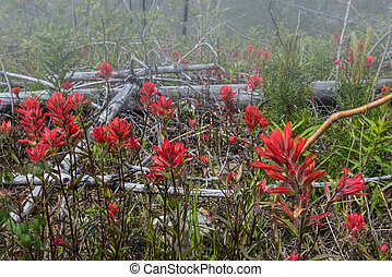 Red Indian Paintbrush Flowers in Fog along hiking trail