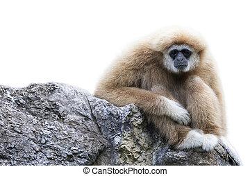 Image of a gibbon sitting on rocks on white background....