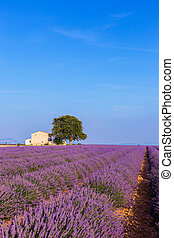 Lavender field summer near Valensole - A lonely house...