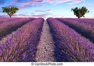 Lavender field summer sunset landscape with two tree near...