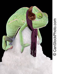 Chilly Chameleon - A veiled chameleon is sitting on a snow...