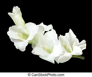 White gladiolus - Beautiful white gladiolus isolated on a...