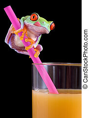 Frog licking lips over OJ - A baby red-eyed tree frog is...