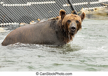 Brown bear waiting for prey in the Kurile Lake. Southern...