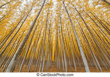 Poplar Tree Farm Symmetry in Oregon - Poplar Tree Farm...
