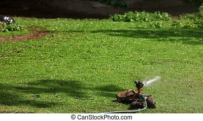 sprinkler on grass and duck walk in
