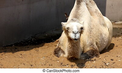 Camel lie on ground in zoo