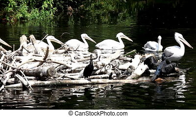 Pelican in nest on zoo pond