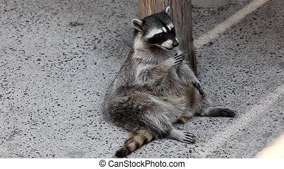 Old raccoon feed in shadow