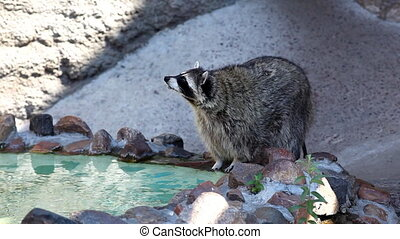 Old raccoon near small pond in zoo