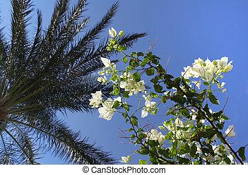 bonito, ramos, árvore,  bougainvillea, palma, branca