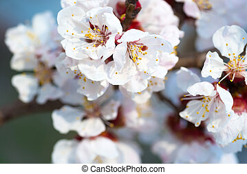 Spring blossoming white spring flowers on a tree against...