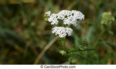 Common yarrow or milfoil - Achillea millefolium, commonly...