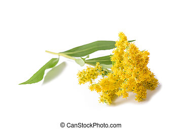 Goldenrod (Solidago gigantea) flowers isolated on white