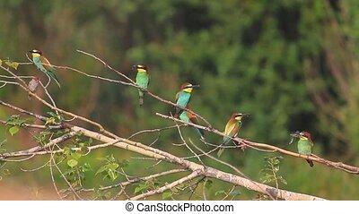 panorama European bee-eaters