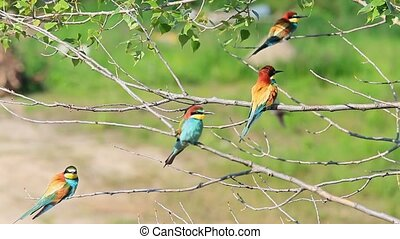 Four European bee-eaters sitting on branches with green...