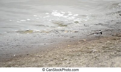 White wagtail walks along coastline - White wagtail walks...