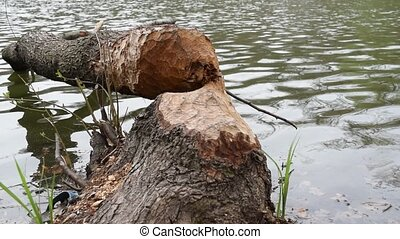 Fallen tree, felled by beavers to make dam