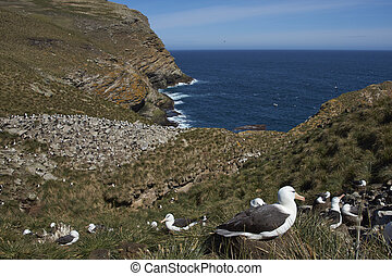 Black-browed Albatross rookery - Black-browed Albatross...