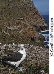 Black-browed Albatross (Thalassarche melanophrys) standing...